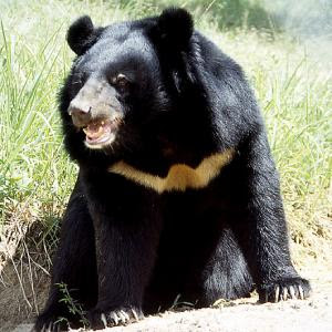 WSPA asiatic black bear