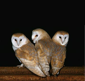 Owl Pictures Pictures of all
