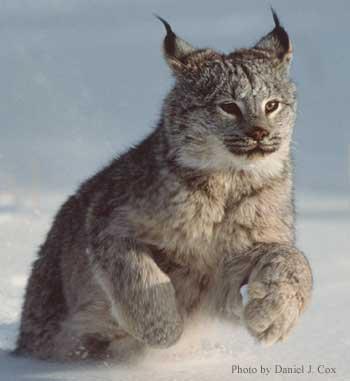 Lynx cat - photo#12