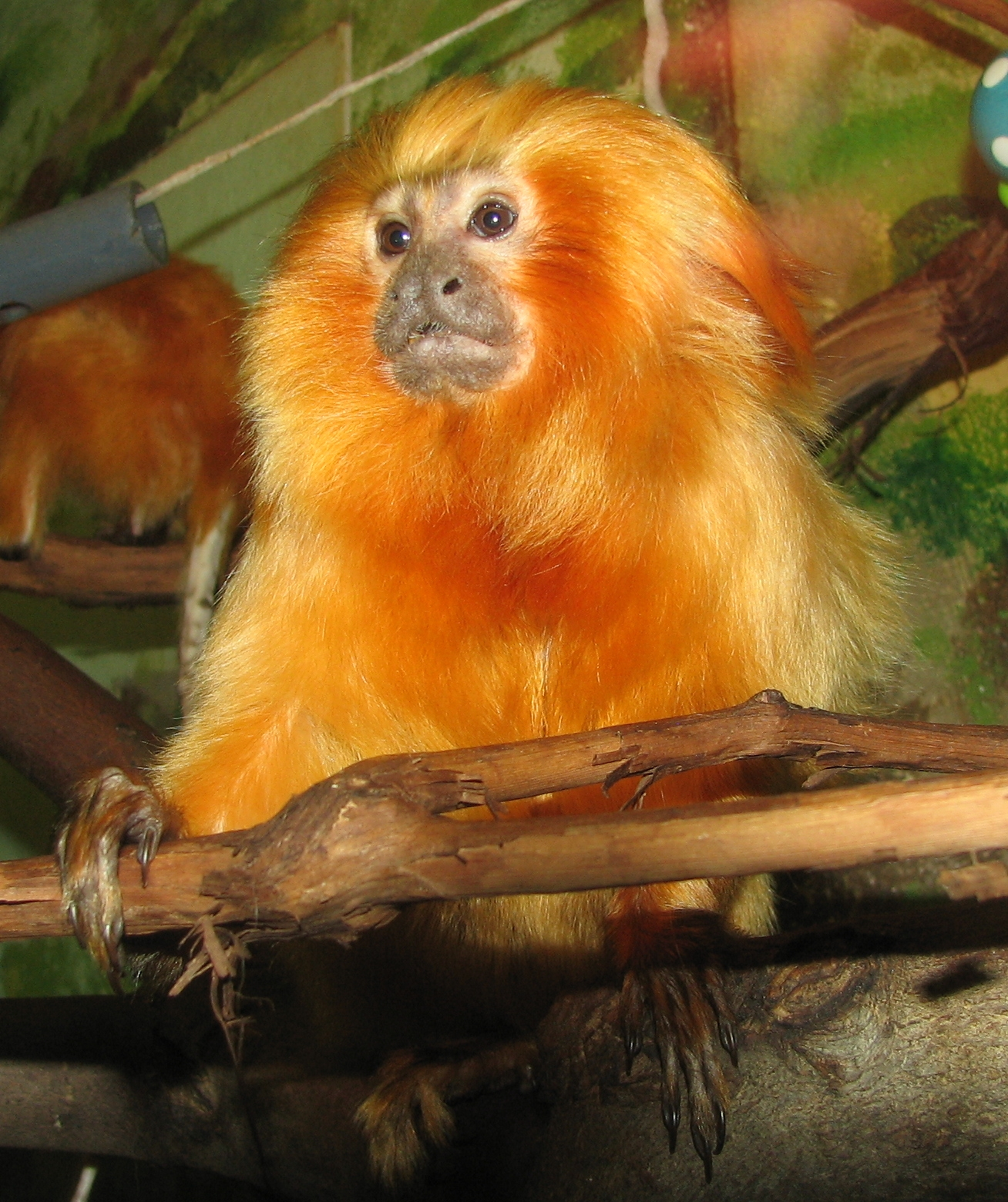 golden lion tamerin This is some cute footage of the black/gold variety of the golden lion tamarin very curious little cuties this one resides at the smithsonian national zoo.