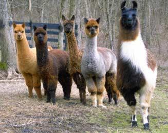 alpacas-llama.jpg