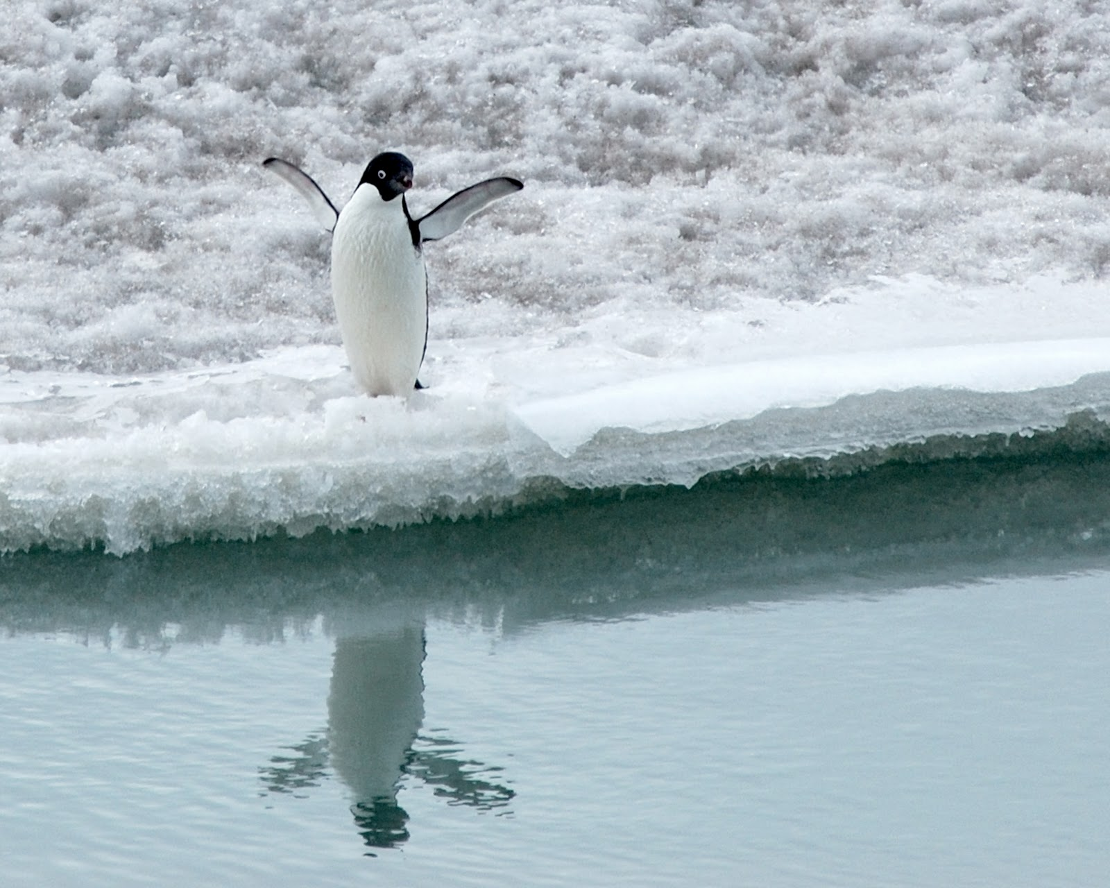 Images of adelie penguins - photo#18