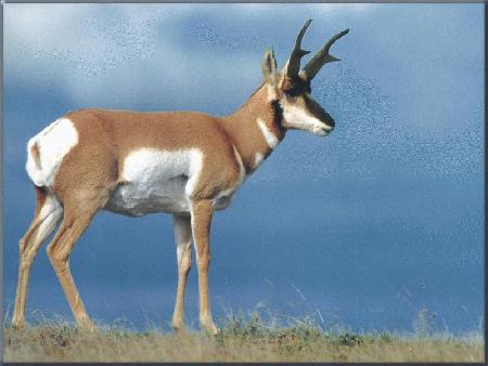 Antelope