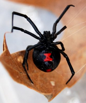 black widow spider bite pictures. The lack widow spider then