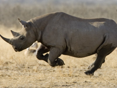 [Image: black-rhinoceros-7.jpg]