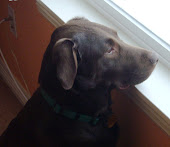 The Chocolate Lab we rescued...