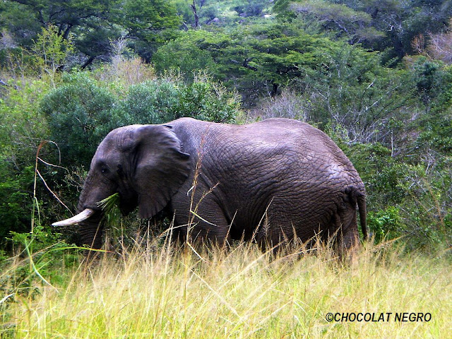 A Young Elephant bull in high grass, nature photography by Chocolat Negro