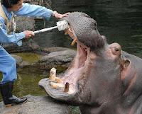giappone osaka ippopotamo zoo