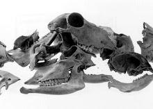 schapenschedels