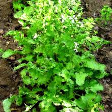 Eruca Sativa - rucola