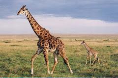 Giraffe (Geri)