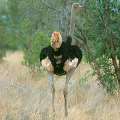 Somali Ostrich is the most beautiful ostrich in the world
