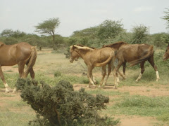 Somali Horses