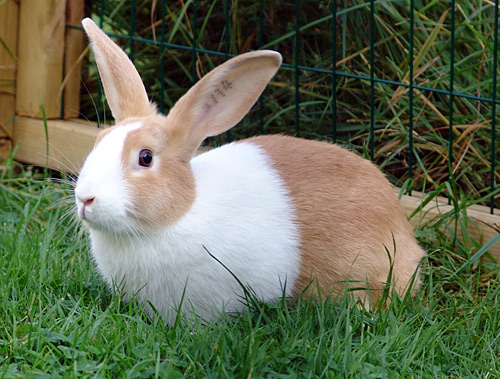 kaniner fakta mat