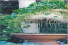 Akar Pokok Pegaga Hidrokultur