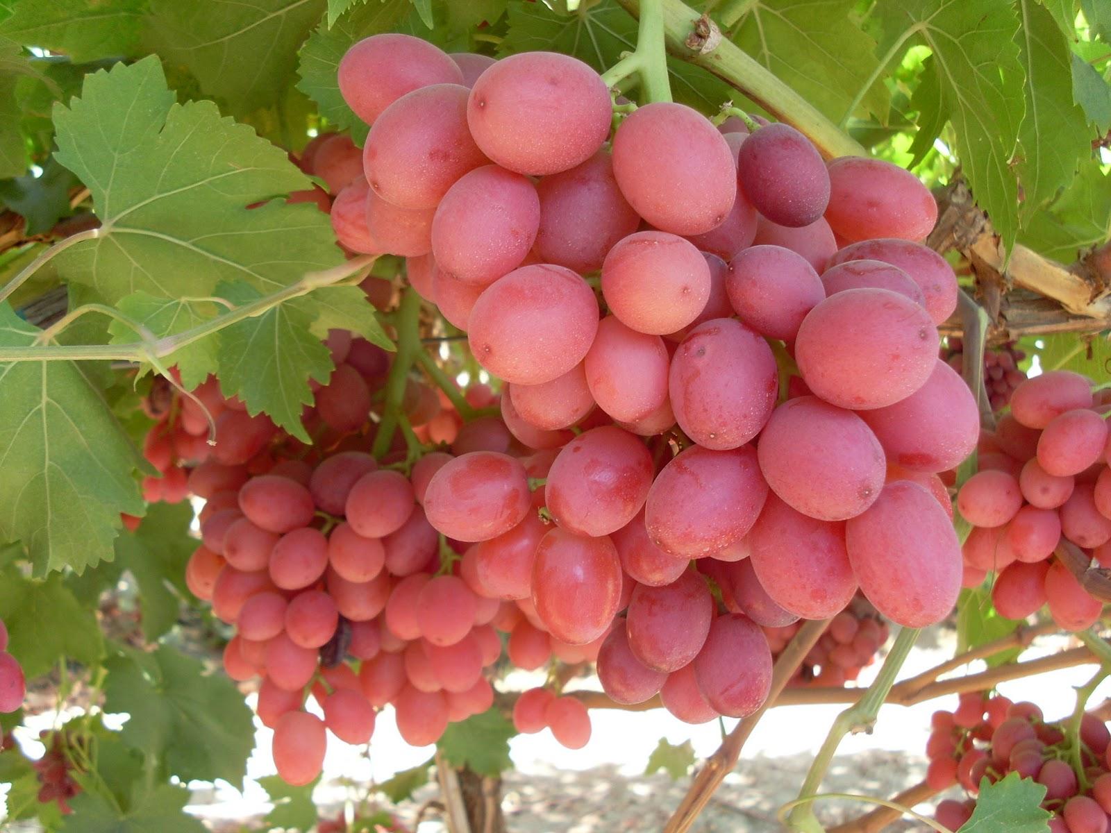 Viticulturaiapb las nuevas variedades de uva de mesa que llegaran a chile - Variedades de uva de mesa ...