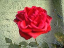 Esta rosa é do meu jardim..., prá você que esteve aqui, obrigada!