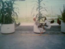 gallo de color pinto, gallo blanco fino de pelea, gallino de combate criadero de los zorro