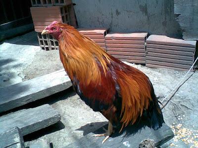foto de gallos culimbos en colombia