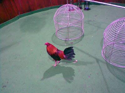 gallera y gallo en las instalasiones del lugar despues de su combate