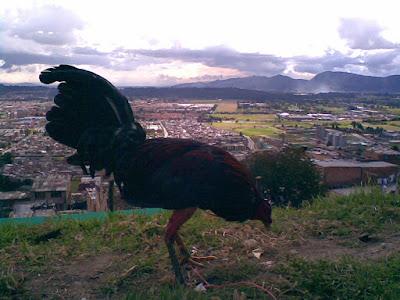 pollo en entrenamiento por los bosques colombianos