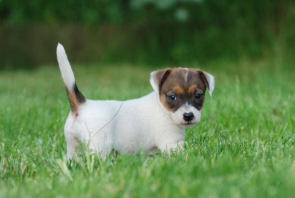 Is Your Jack-Russell-Terrier Potty Trained Enough?