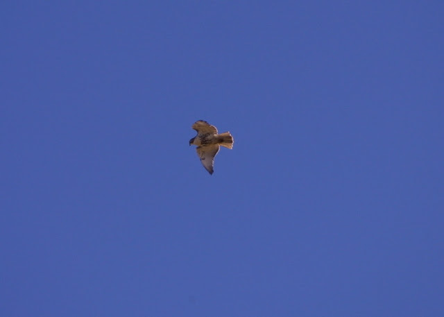 NorthernHarrier1