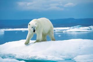 Beruang Kutub si karnivora terbesar