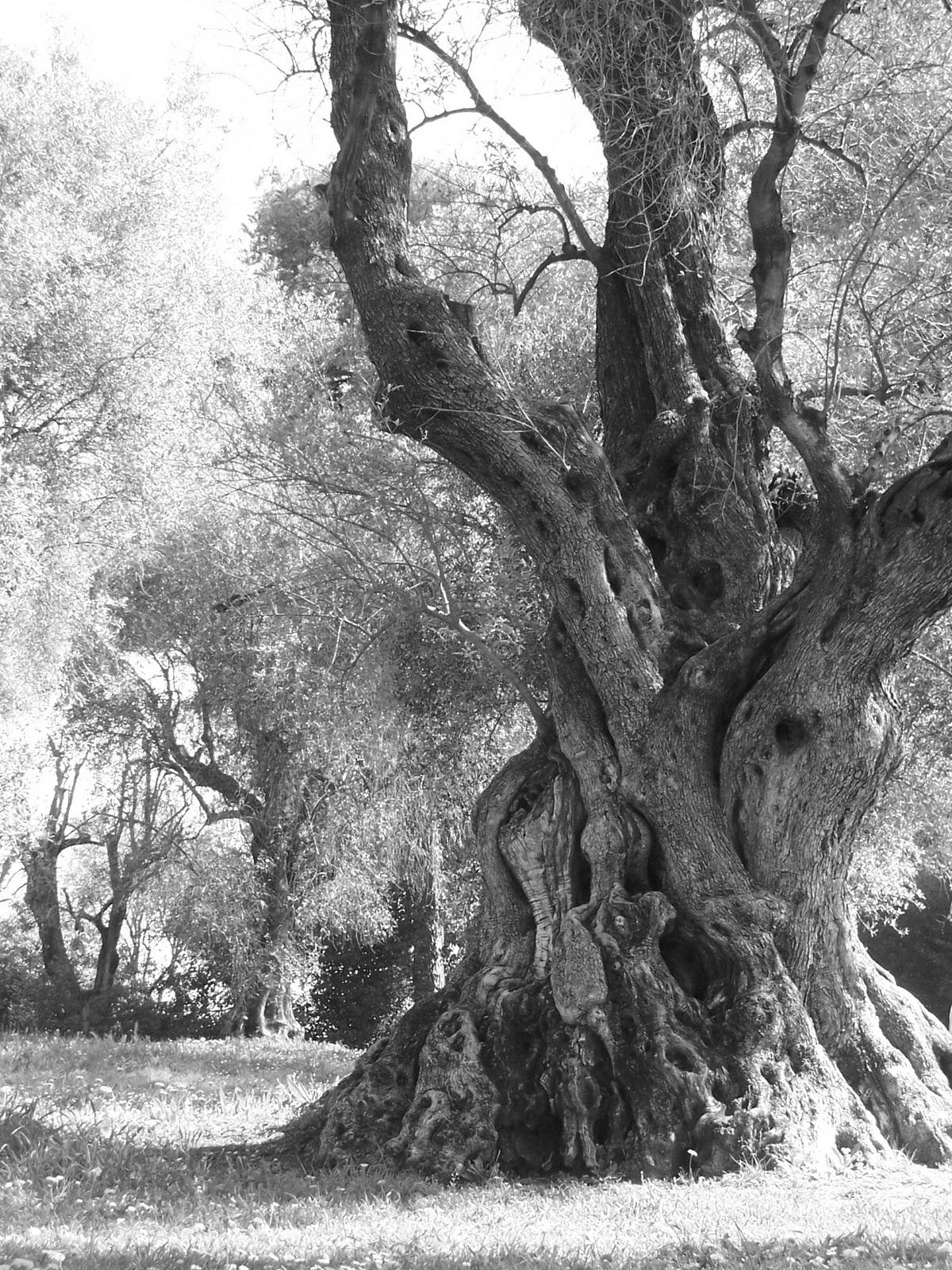 Robusti tronchi d'albero, disegni di corteccia, radici