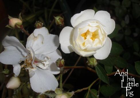 http://2.bp.blogspot.com/_WOGAZJ5C2Zw/TTQPswcTyoI/AAAAAAAAA2g/_sw7qt1aXcA/s1600/P7040566+rose+atlp.jpg