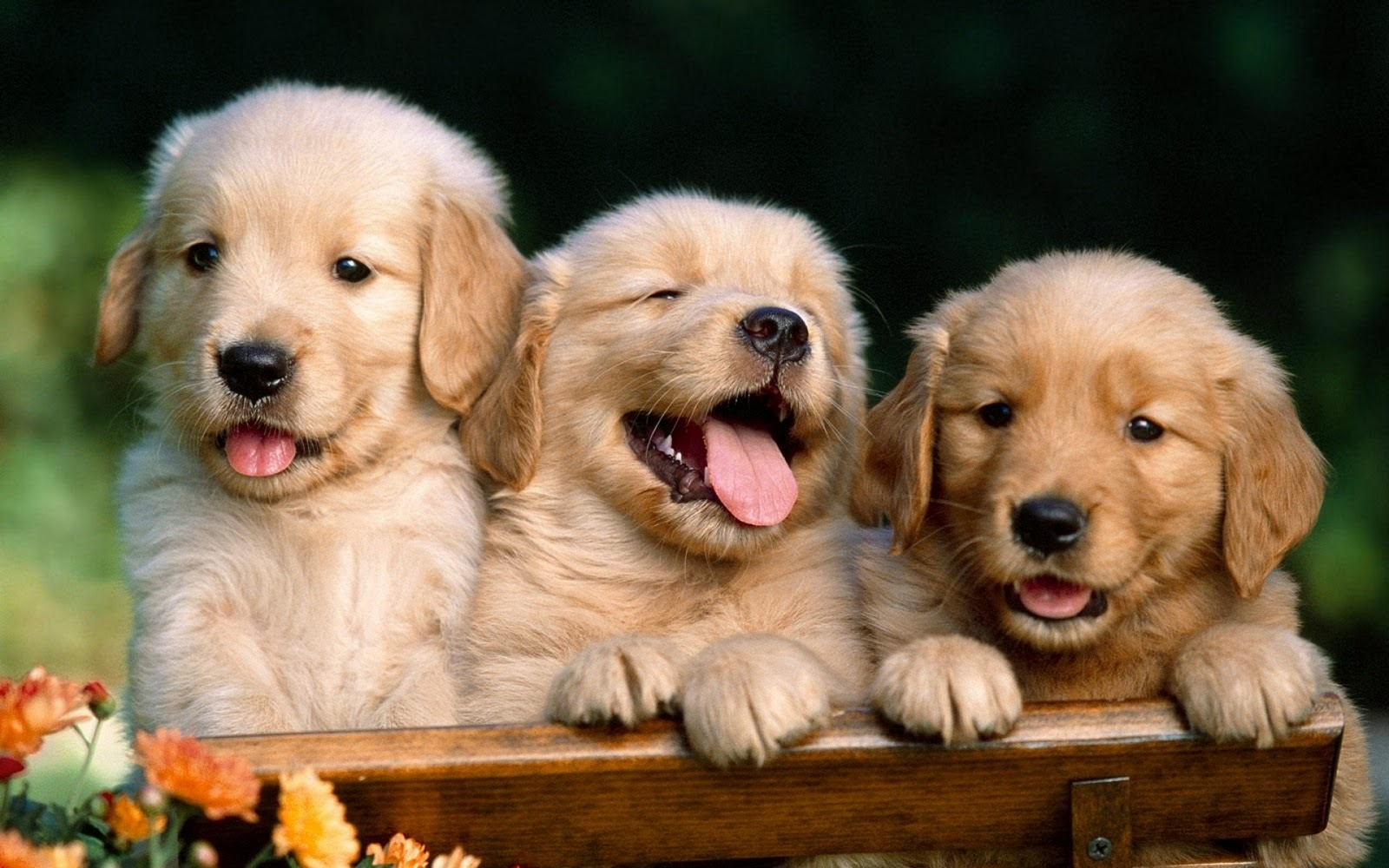 Cute puppies photo dog wallpapers backgrounds dogs wallpapers cute puppies photo dog wallpapers backgrounds dogs wallpapers backgrounds voltagebd Gallery