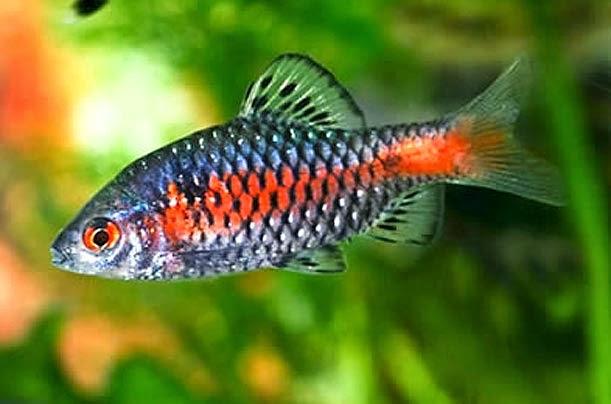 Medium sized red schooling fish everything aquatic for Freshwater schooling fish
