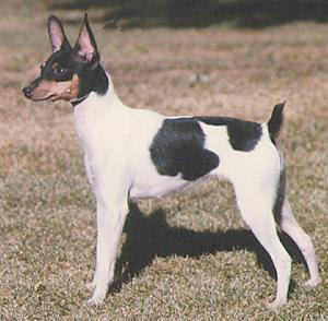 toy_fox_terrier.jpg