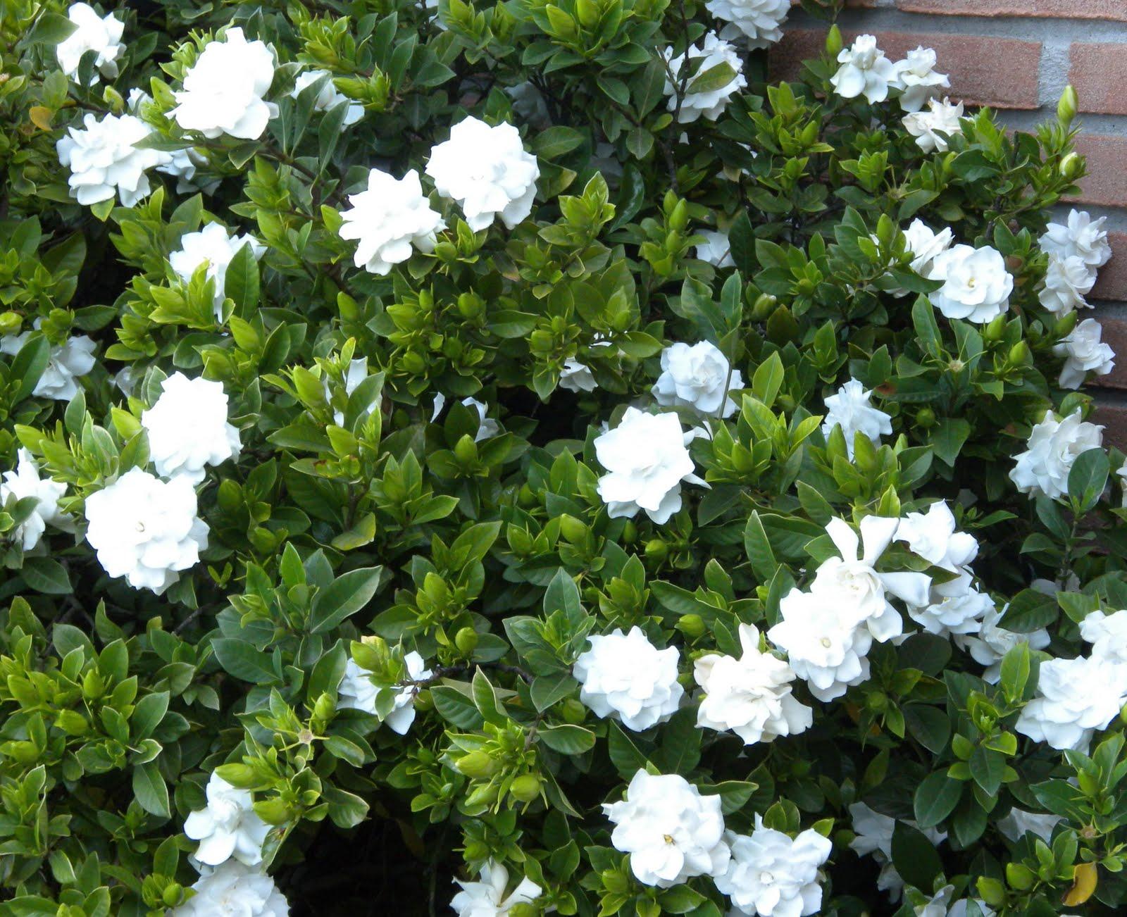 Gardenia e punto croce gardenia - Gardenia pianta da giardino ...
