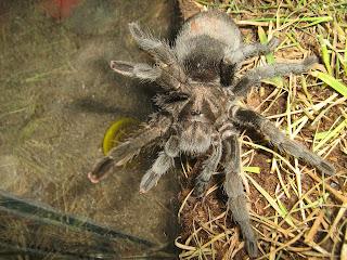 Como criar arañas y tarantulas