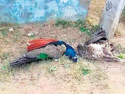Peacock poaching