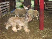 Dill herding