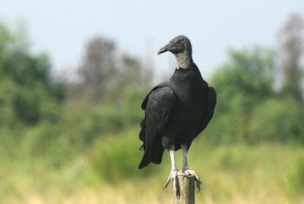 Le groupe des condors et des vautours du nouveau monde