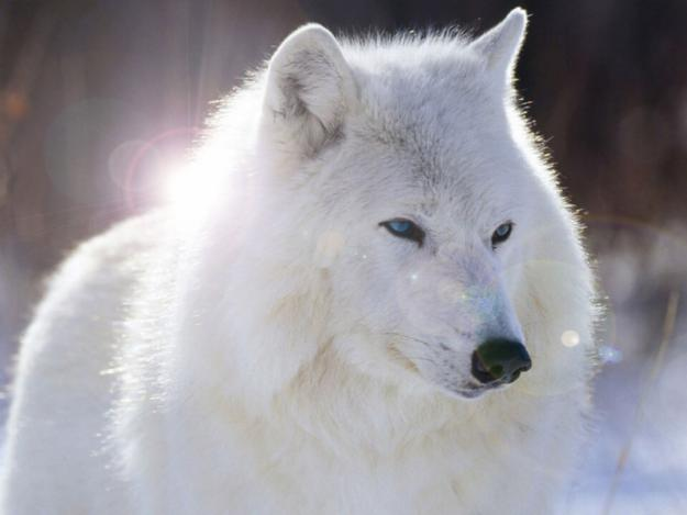 lobo siberiano: LOBO SIBERIANO