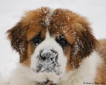St. Bernard Pup in Snow