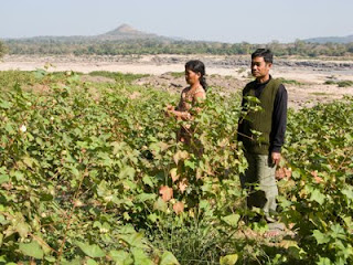 growing organic cotton