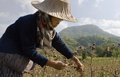 Picking organic cotton in Baan Kokkabok, Loei Province, Thailand