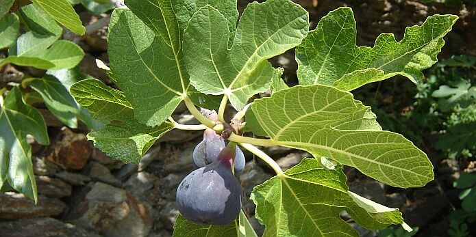 Fresh figs - foto: casa rural El Paraje