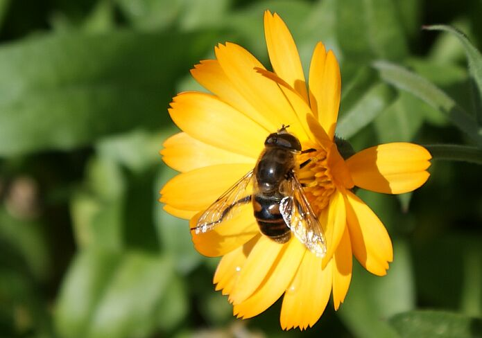 A bee collecting pollen from a pot marigold in October - foto: casa rural El Paraje
