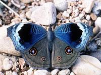 Junonia artaxia