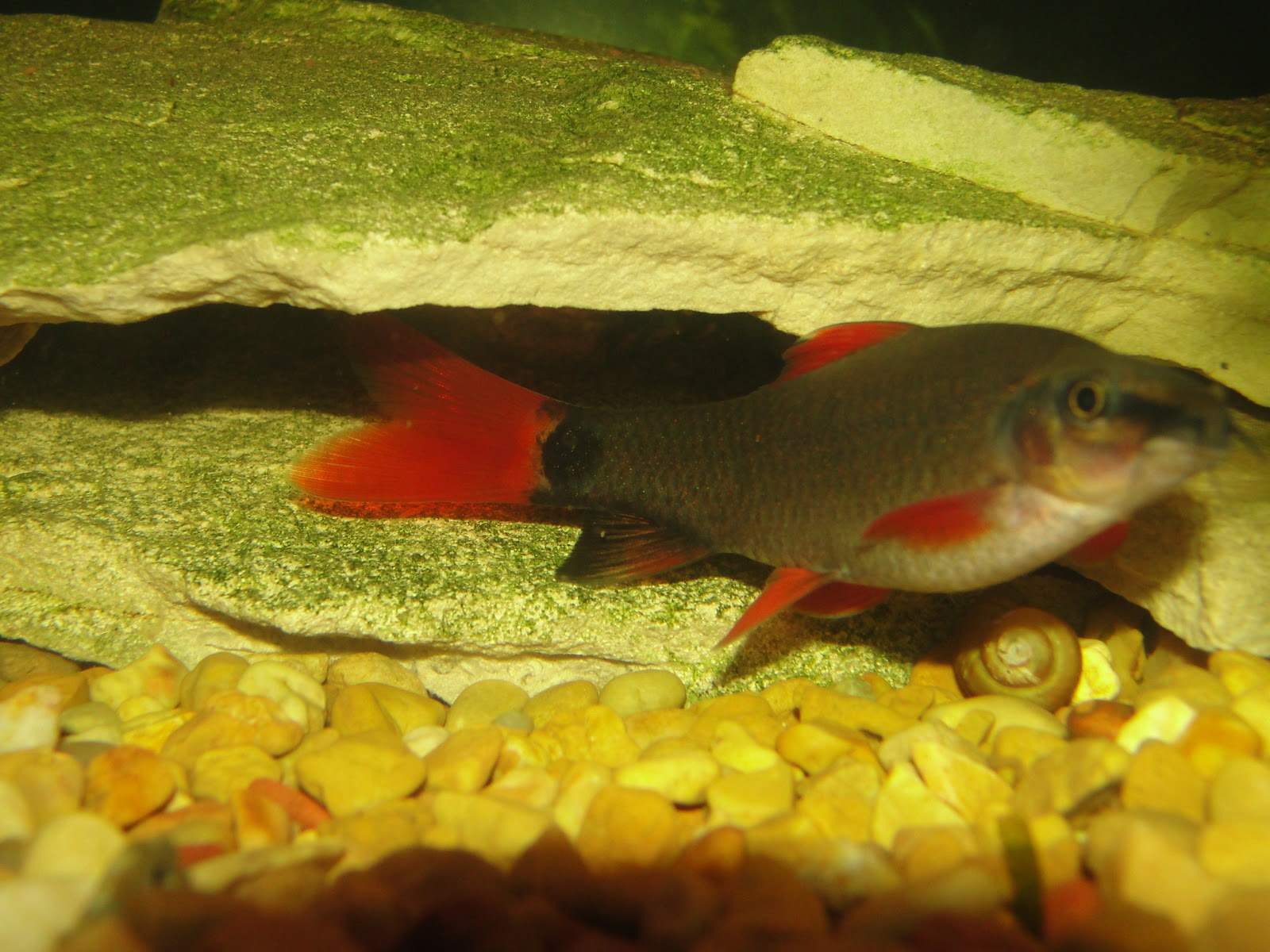 Freshwater fish keeper red finned shark rainbow shark for Red freshwater fish