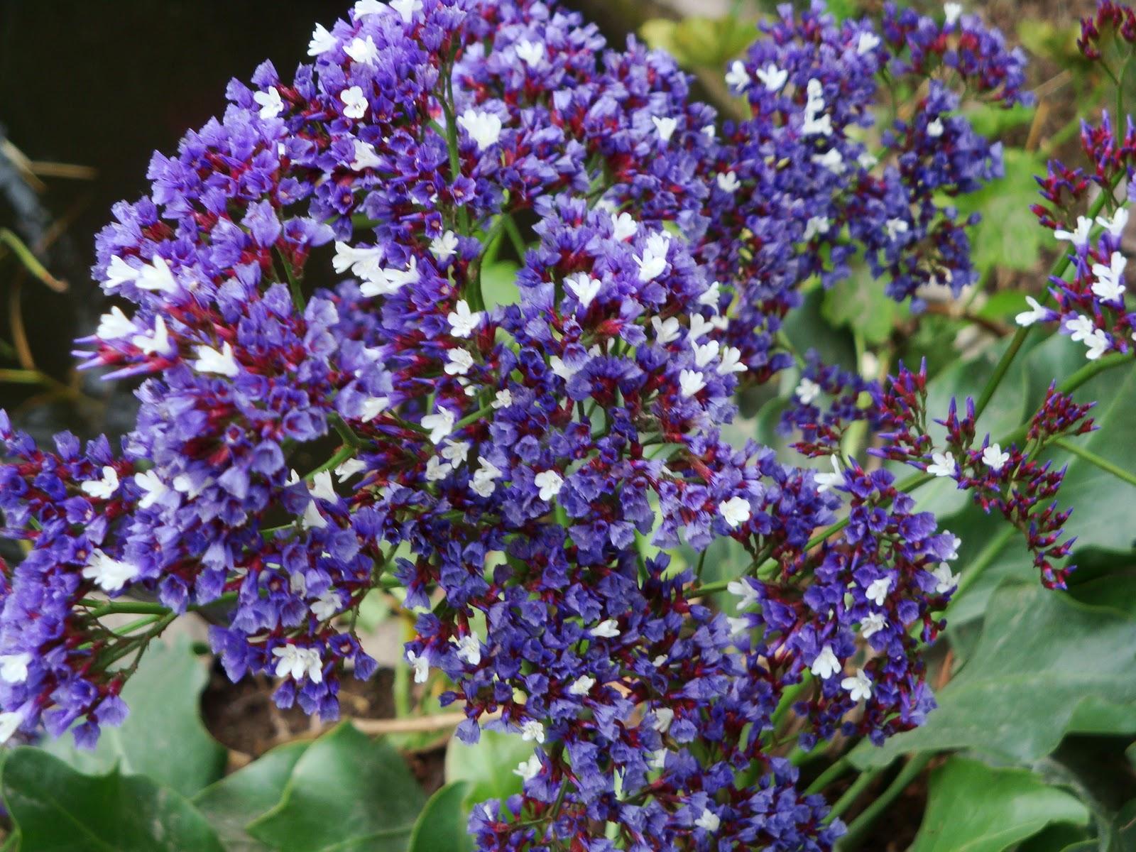 Luna verde flores azules moradas y lilas - Plantas de jardin nombres ...