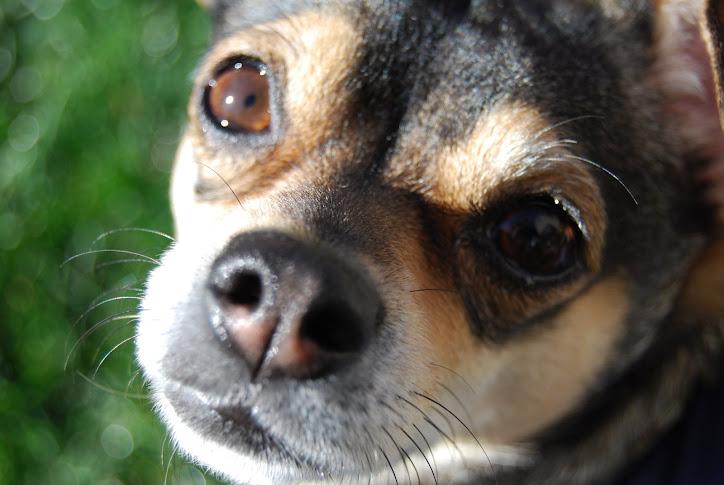 Rambo's Chihuahua Blog