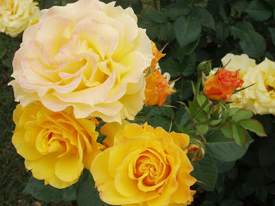 Concurso rosaleda