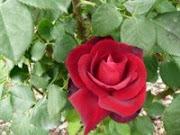 Rosa de Terciopelo